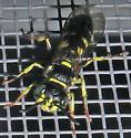 Philanthinae? - Aphilanthops frigidus - male