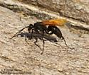 Tarantula Hawk wasp? - Hemipepsis ustulata - female