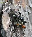 Laphria - Laphria cinerea