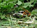 Sphecius speciosus - Eastern Cicada Killer - Sphecius speciosus - female