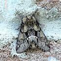 Moth B - unident - Hyperaeschra georgica