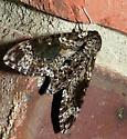 large moth - Dolba hyloeus