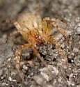 ghost spider - Anyphaena - female