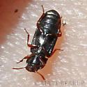Tiny Beetle - Tribolium destructor