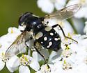 Syrphid (black and white) - Sericomyia lata