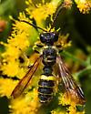 Weevil Wasp - Cerceris
