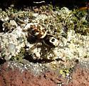 A female for February - Salticus scenicus - female