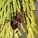 Bug ssp. - Leptoglossus occidentalis