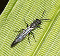 Wasp from the Left Fork of the Right Fork of the Buckhannon - Trypoxylon