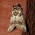 Ceranemota species - Ceranemota improvisa
