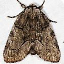 Unknown Moth - Raphia frater
