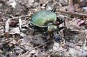 Scaphinotus viduus viridis - Scaphinotus viduus