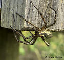 Spider - Perhaps: something in Agelenidae? - Agelenopsis