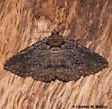 Zale sp. perhaps edusina - Zale insuda