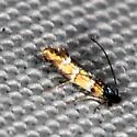 moth - Chrysaster ostensackenella