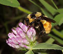 Apidae, Tricolored Bumble Bee - Bombus ternarius