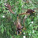 Ménage à Trois - Promachus rufipes - male - female