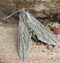 Sphinx moth - Sphinx