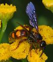 wasp - Scolia nobilitata