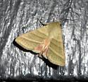 unidentified moth - Chloridea virescens