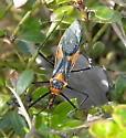 Zelus Assassin Bug? - Zelus longipes