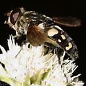 Syrphid - Sericomyia lata - female