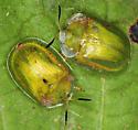 Genus Gratiana? - Gratiana boliviana