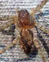 A. margareta female - Apollophanes margareta - female
