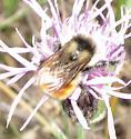 Bee on Centraurea near Chapleau - Bombus ternarius
