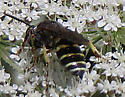 wasp on queen anne's lace - Aphilanthops frigidus