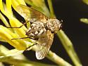 Parasitic Fly (Family Tachinidae) - Mochlosoma illocale