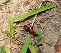Cow Killer? - Dasymutilla occidentalis - female