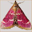 Raspberry Pyrausta - Hodges#5034 - Pyrausta signatalis
