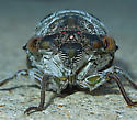Cicada 14 - Megatibicen auletes
