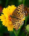 Speyeria - Speyeria zerene - male
