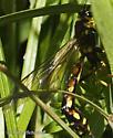Megarhyssa (nortoni?) - Megarhyssa nortoni - female