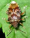 Bug - Elasmucha lateralis
