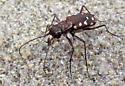 Tiger beetle (C.oregona?) - Cicindelidia sedecimpunctata