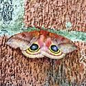 Beautiful Moth - Automeris io - female