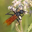 Tarantula Wasp - Tribe Pepsini? - Pepsis - female