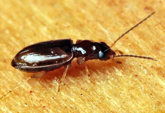 Beetle - Tachys pumilus
