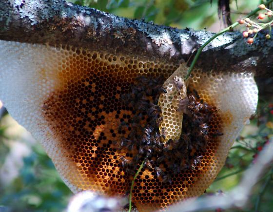 honey bees - Apis mellifera - Apis mellifera
