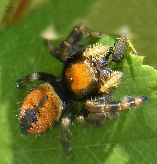 Apache Jumping Spider - Phidippus apacheanus