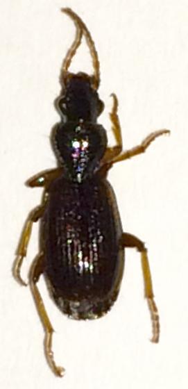 Carabid - Cymindis neglecta - female