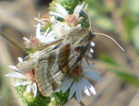 Heliothis oninis (Flax Bollworm moth)?  - Heliothis ononis