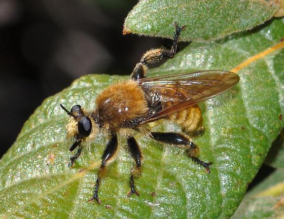 Laphria sp? - Laphria engelhardti - male
