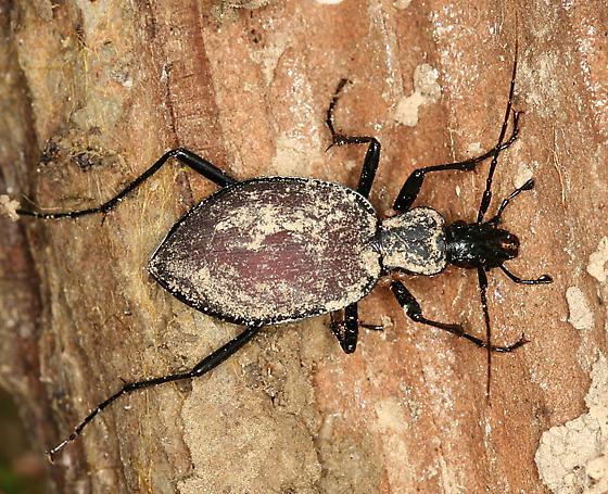 slug or snail hunter - Scaphinotus angusticollis