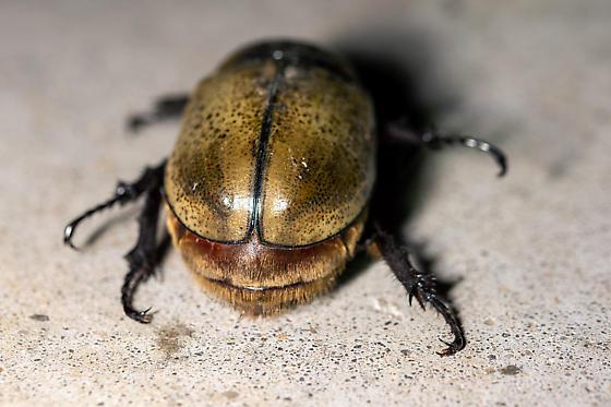 Large Beetle - Dynastes tityus