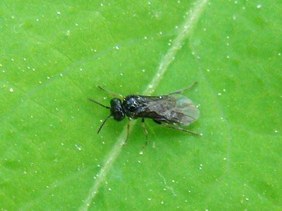 3mm Sawfly - Fenusa