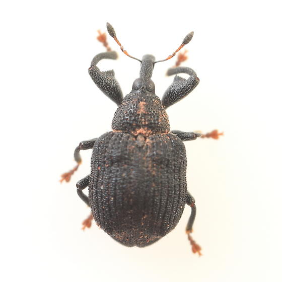 Weevil - Odontopus calceatus